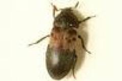 larderbeetle